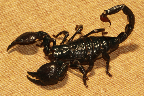 คำอธิบายภาพ : 5-Most-Dangerous-Scorpions-in-the-World-05